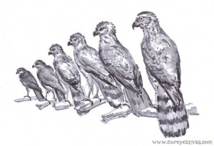 This was an awesome setup... it's 3 different species of Candian bird of prey, male and female. Hmm? COOL!
