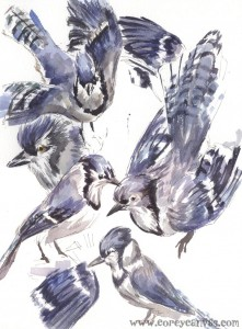 If I'm counting right, there were four different Blue Jay specimens at the Montreal Biodome. WOW. After I finished losing my mind, I painted them.
